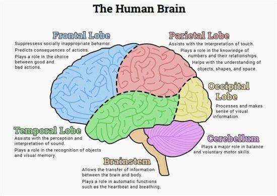 Fresh Human Brain Mapping – Priapro Com