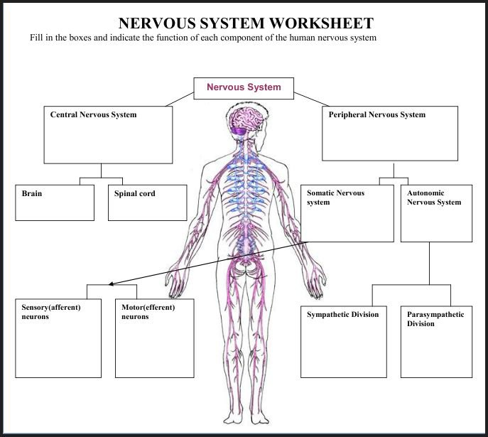 Nervous System Worksheet Answers Nervous System Worksheets Answer
