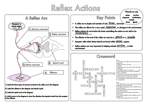 Nervous System Worksheet Gcse Worksheets On The Nervous System