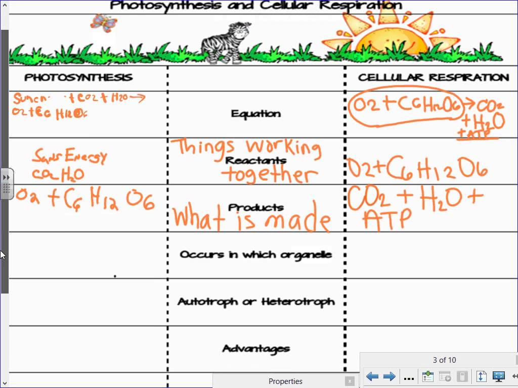 Photosynthesis Respiration Worksheet The Best Worksheets Image