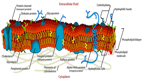 Plasma Membrane Of A Cell  Definition, Function & Structure