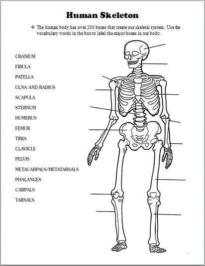 Skeletal System Worksheet Human Skeleton Anatomy Activity The 25