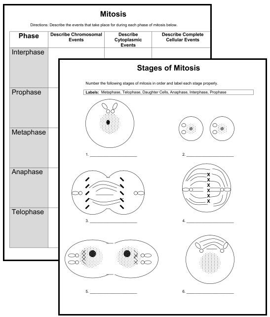Stages Of Mitosis Worksheets Answer Key