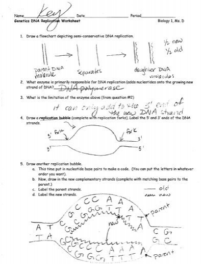 28+ Collection Of Dna Replication Drawing Worksheet