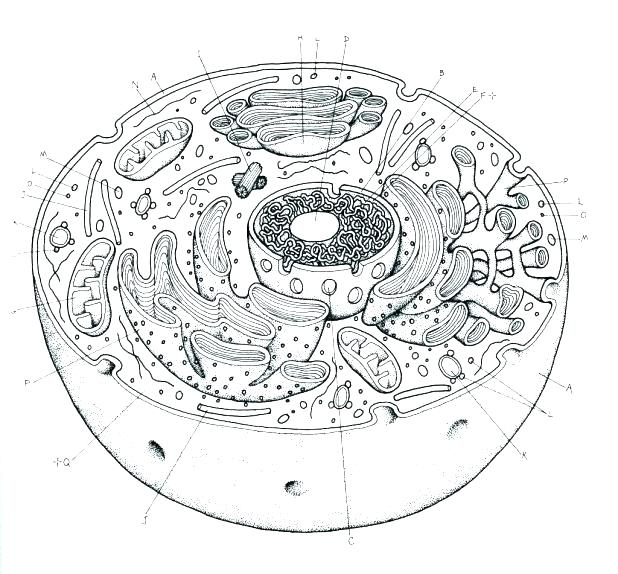 Animal Cell Coloring Sheet Plant Page Pages Key Kids – Youruseful Info