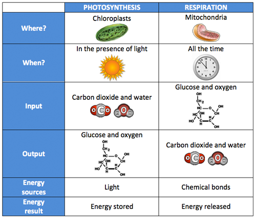 Chart Comparing Photosynthesis To Respiration