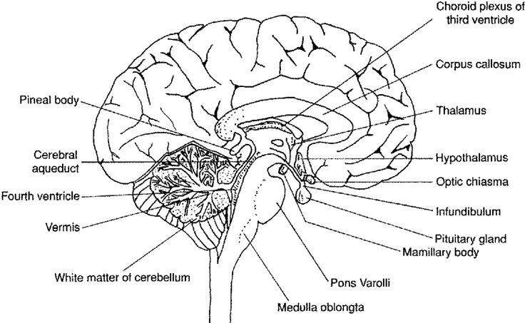 Collection Of Brain Diagram Worksheet