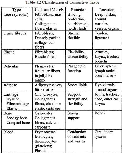 Connective Tissue Worksheet The Best Worksheets Image Collection
