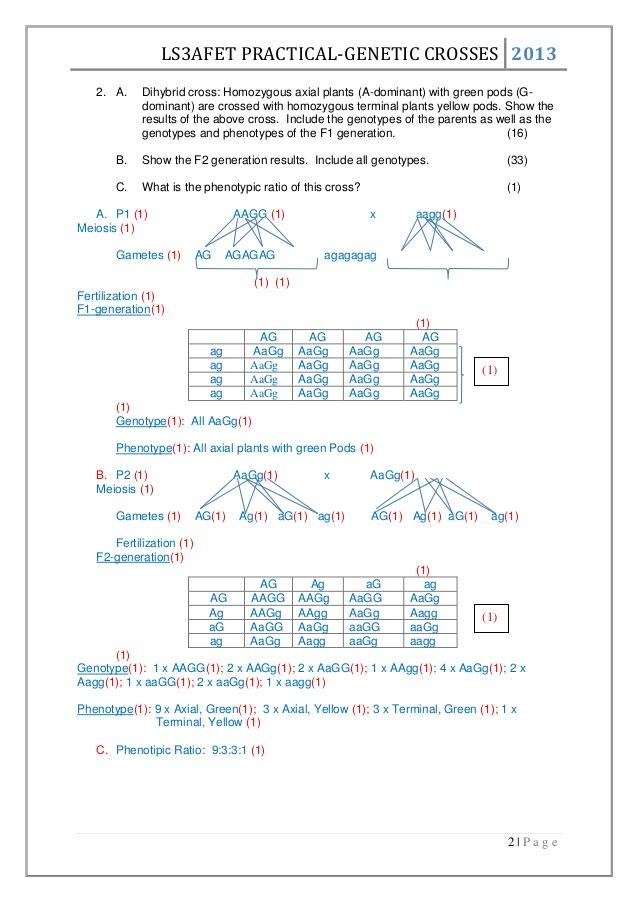 Dihybrid Crosses Genetics Worksheet 932960