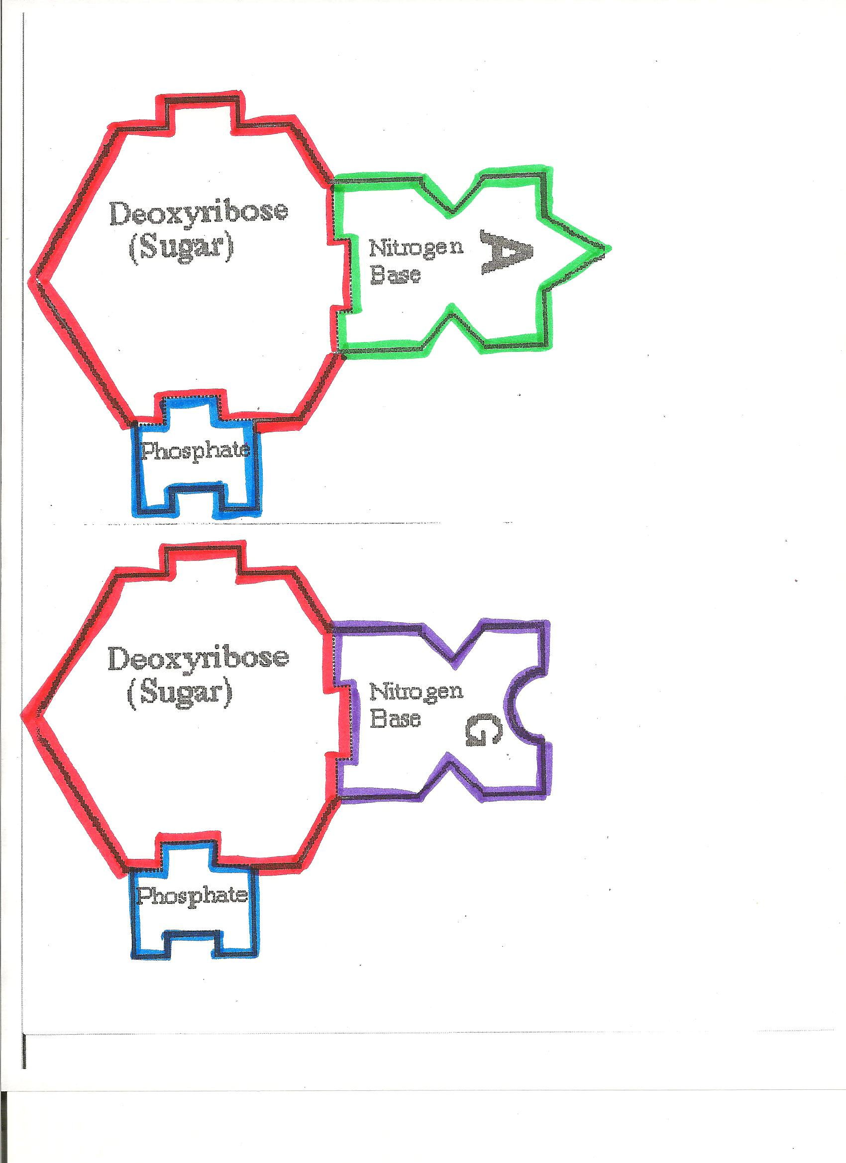 Dna Puzzle Worksheet