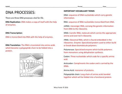 Dna Replication Activity Worksheet
