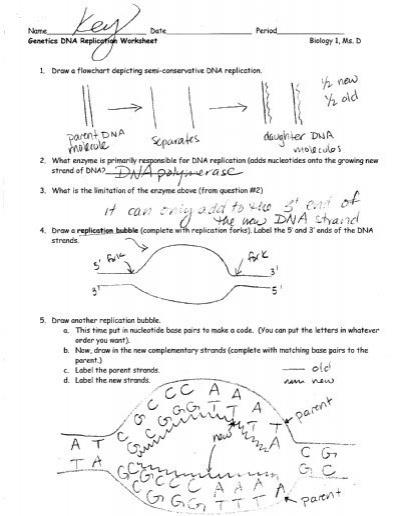 Dna Replication Worksheet Answers Dna Replication Worksheet