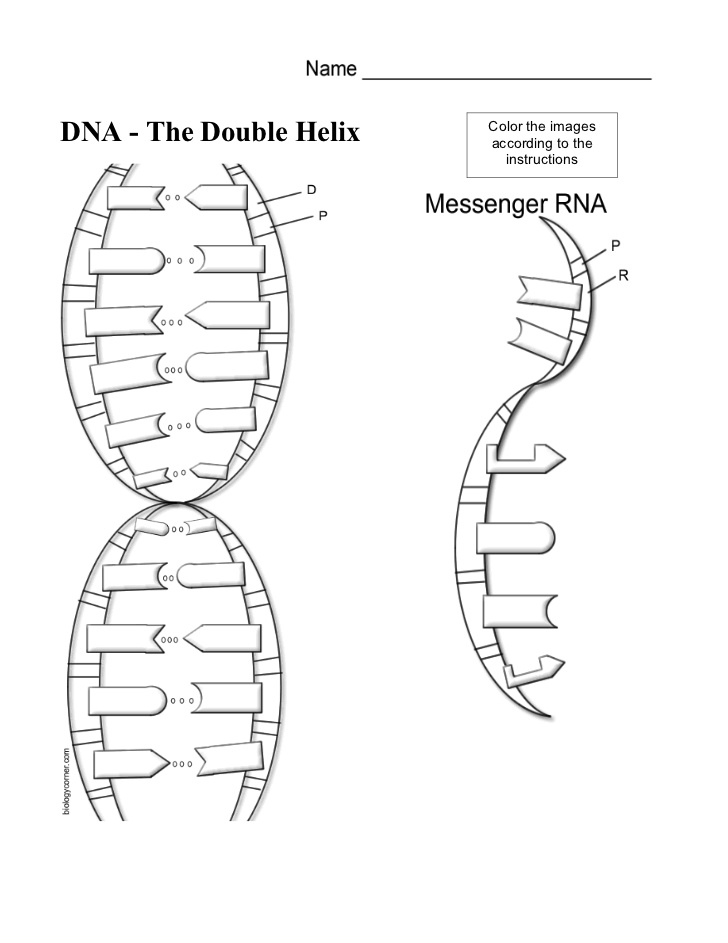 Dna Worksheet Structure Of Dna And Replication 1351186