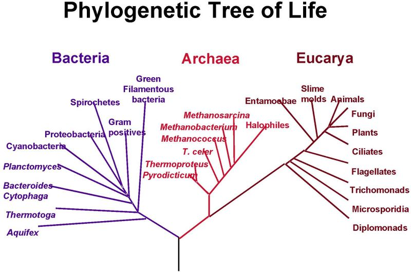 Essential Knowledge 1 B 2  Phylogenetic Trees And Cladograms Are