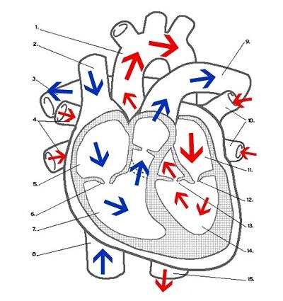 Heart Labeling (key)