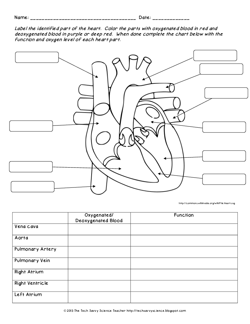 Human Heart Labeling Worksheet