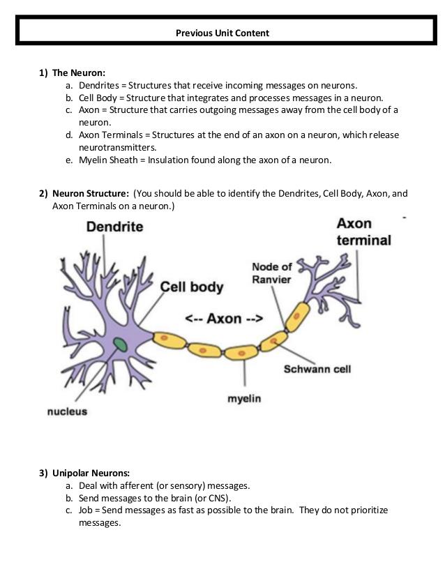 Nervous System Worksheet Answer Key 273735