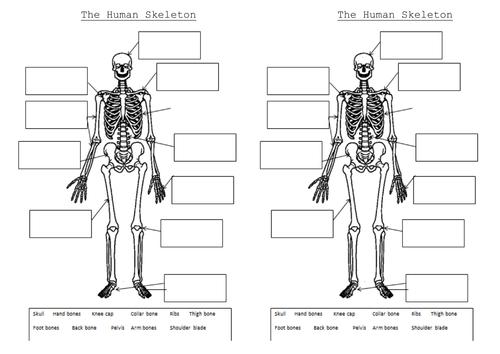 Printable Skeleton Worksheet The And Muscles Powerpoint Worksheets