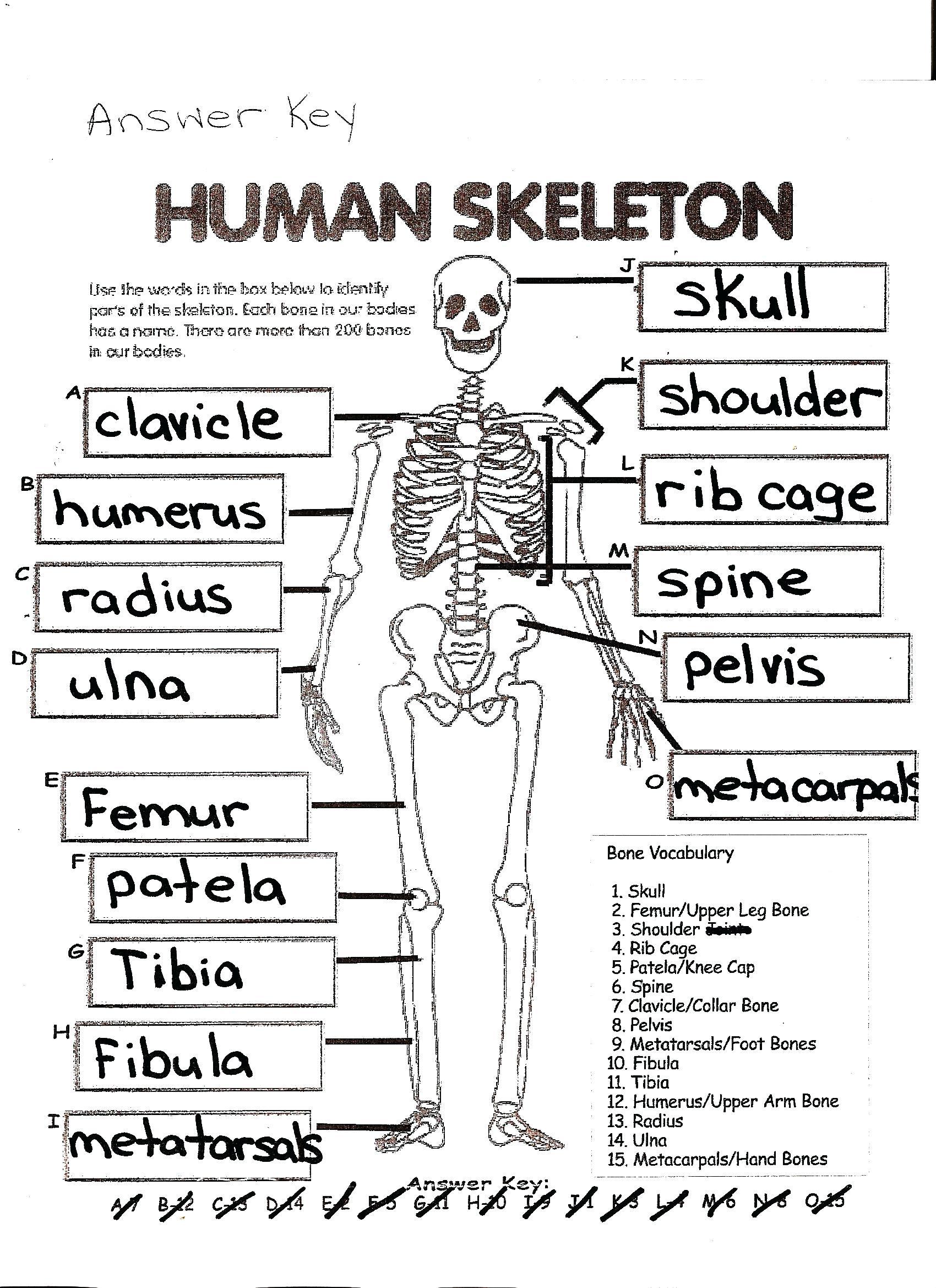 Skeleton Worksheet Answers  1122840