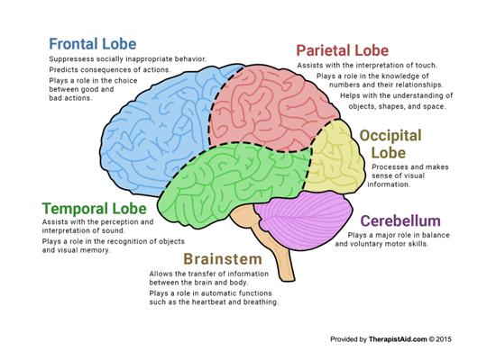 The Human Brain (diagram) (worksheet)