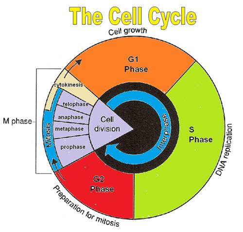 28+ Collection Of Cell Cycle Drawing Worksheet