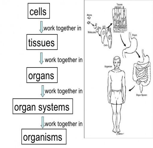 39 Best Cells Tissues Organs Organ Systems Worksheet