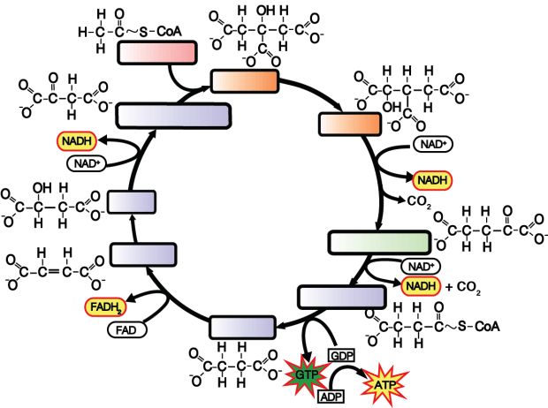 41 Impressive Krebs Cycle Worksheet With Answers