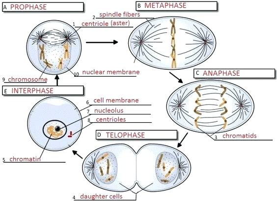 Cell Cycle Drawing Worksheet At Getdrawings Com
