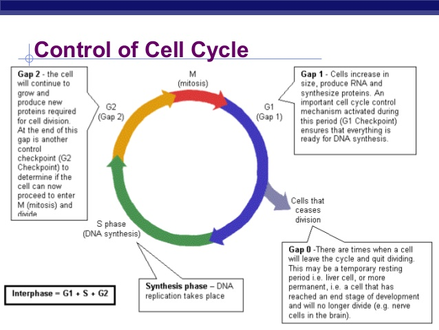 Cell Cycle Regulation Worksheet Worksheets For All