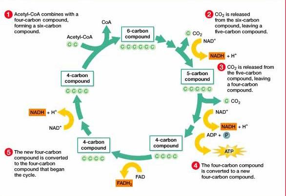Citric Acid Cycle Diagram Worksheet
