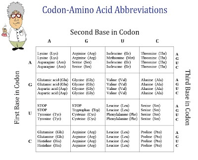 Codon Worksheet 11 Elegant Unique Protein Synthesis Worksheet