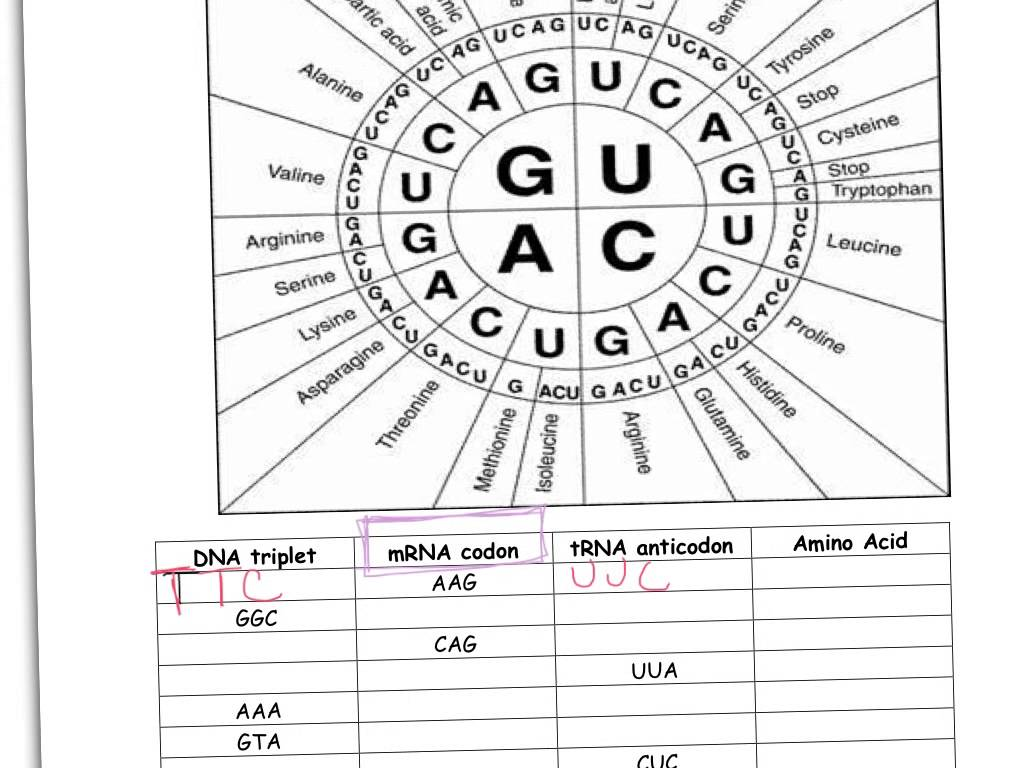 Codon Worksheet Answer Key Biology Junction  442298