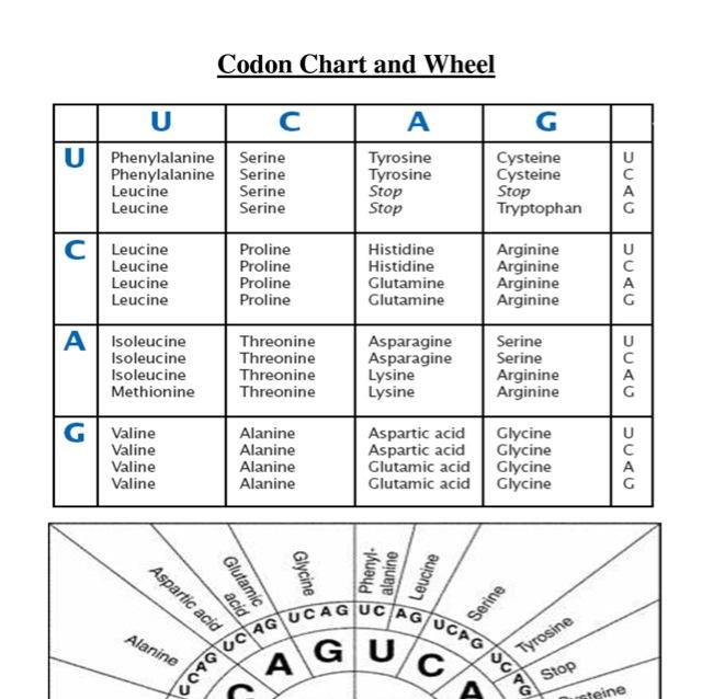 Codon Worksheet Answer Key The Best Worksheets Image Collection