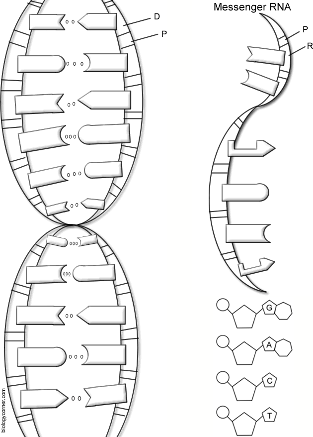 Label Dna Worksheets