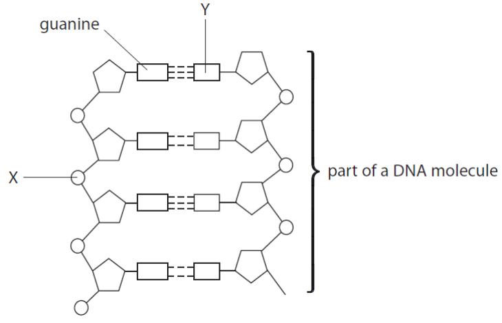 Dna Structure Labeling Worksheet Worksheets For All