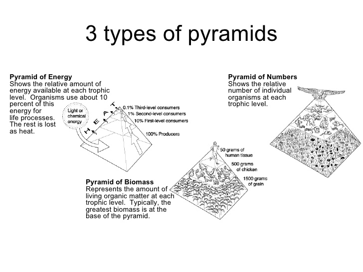 Ecological Pyramid Worksheet Worksheets For All