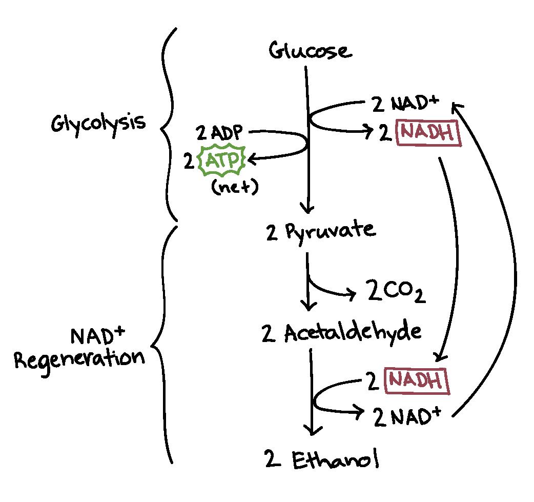 Fermentation Glycolysis Diagram