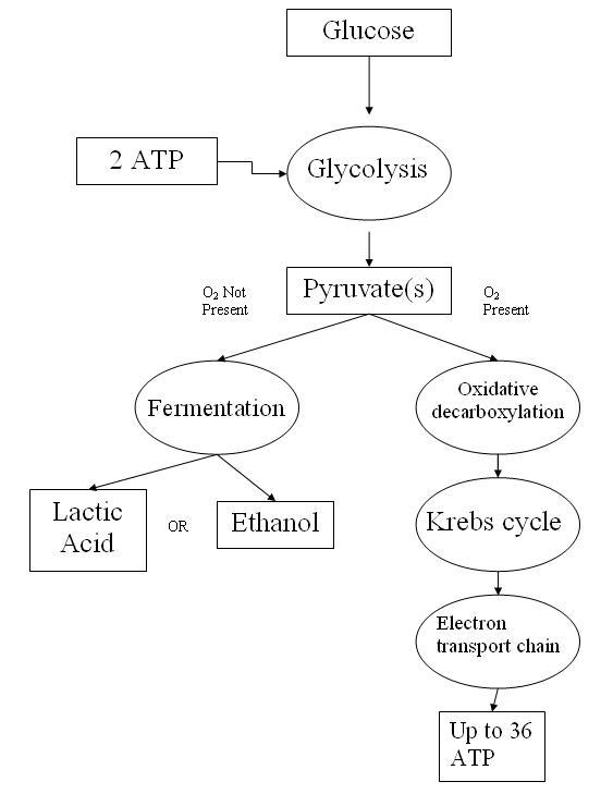 Fermentation Worksheet Answer Key