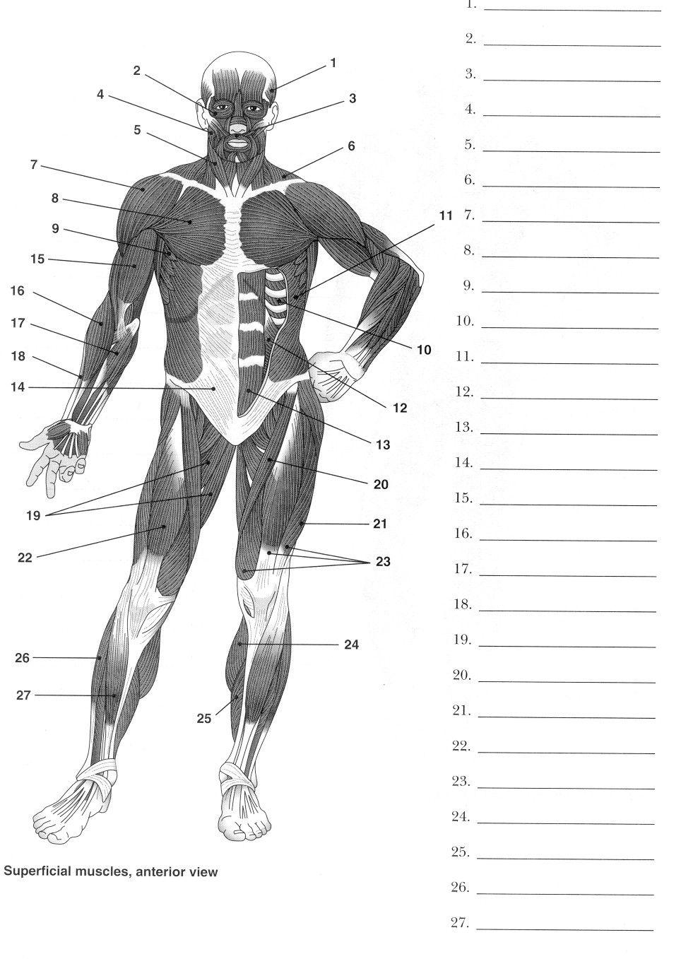 Human Body Muscle Diagram Worksheet