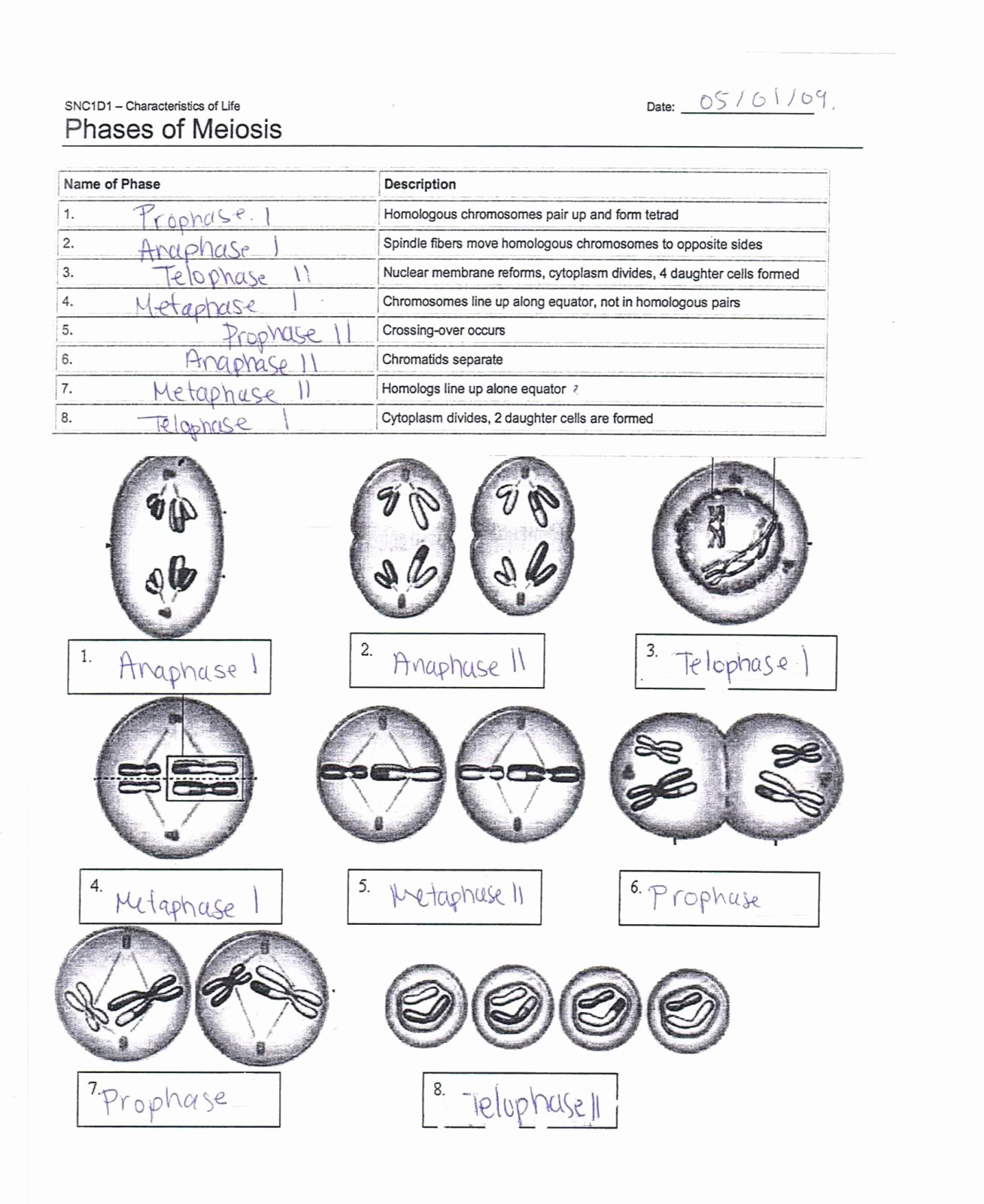 Label The Phases Of Meiosis Answers