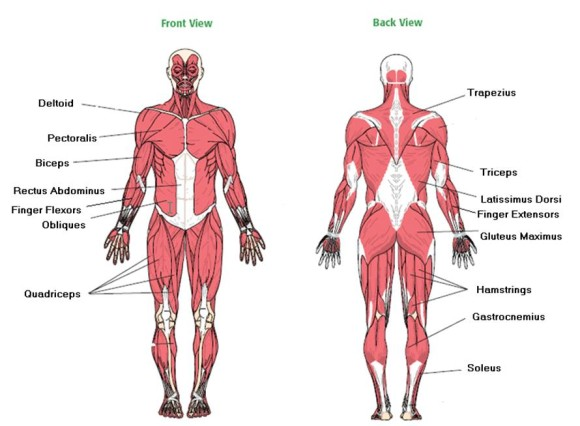 Major Muscles Worksheet The Best Worksheets Image Collection