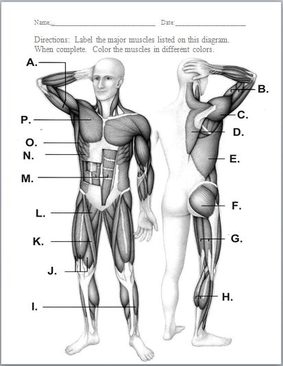 Muscular System Worksheet 23 Free Download 130 Best Anatomy The