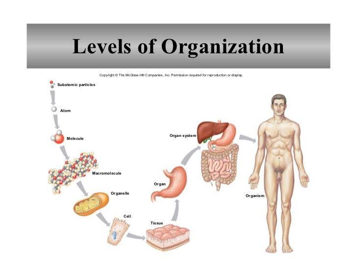 Organization Of The Human Body Worksheet