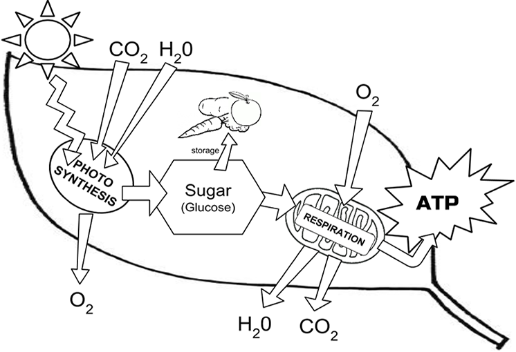 Photosynthesis Chloroplast Structure And Function Leaf Diagram