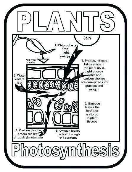 Photosynthesis Coloring Activity Photosynthesis Coloring First