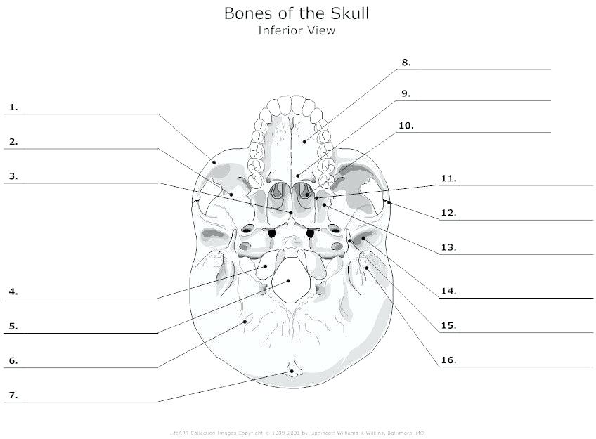 Printable Anatomy Labeling Worksheets Skull Bones Coloring With