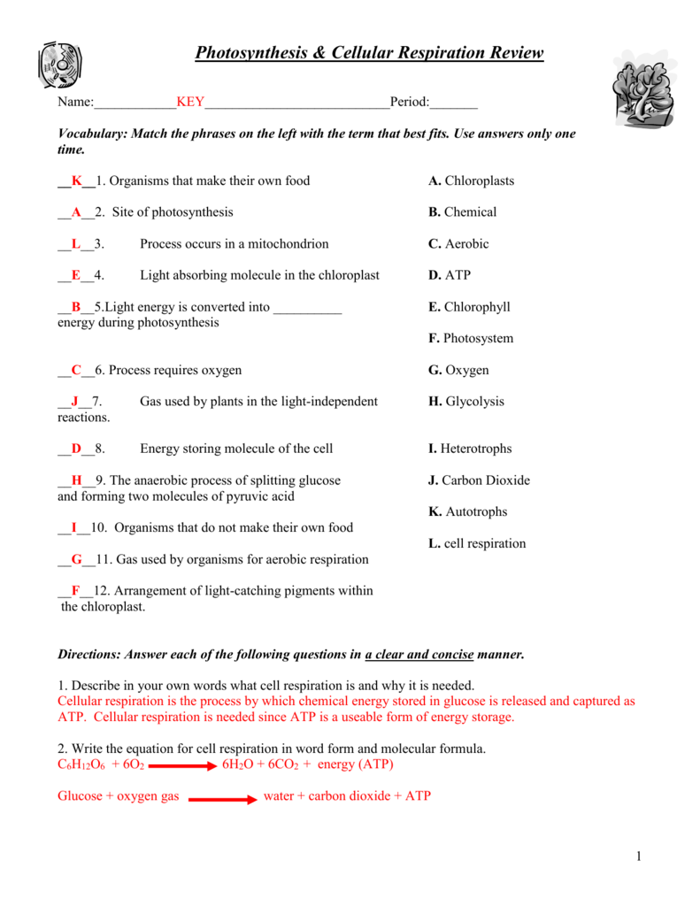 Respiration And Photosynthesis Worksheet 1142956