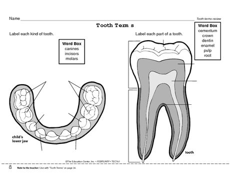 Science Worksheet  Types Of Teeth, Tooth Parts