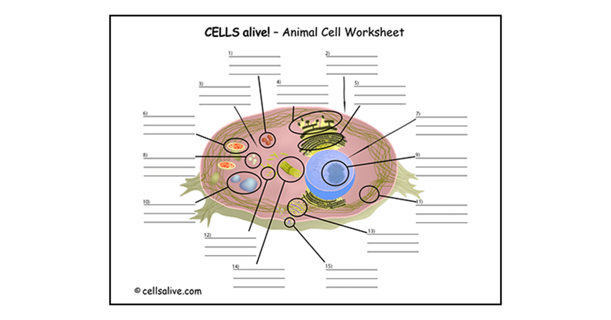 Search Results For Mitosis In Plant Cells Worksheet, Cell Cycle