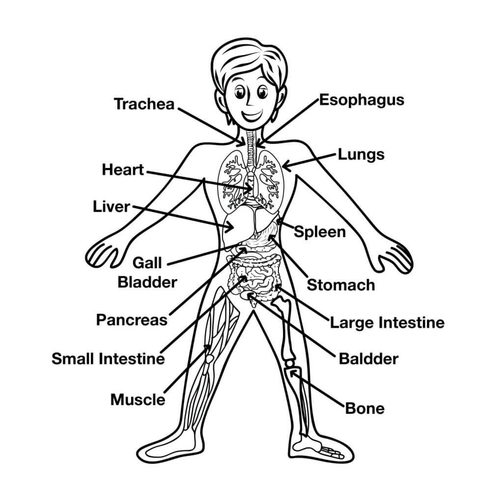 Worksheets For Preschoolers Human Body 55495